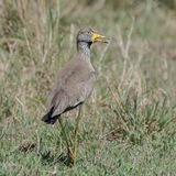 African Wattled Lapwing (1)