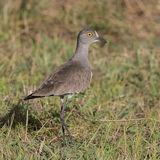 Senegal Lapwing (2)