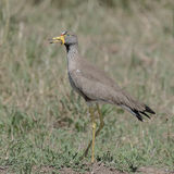 African Wattled Lapwing (2)