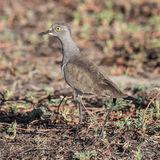 Senegal Lapwing (3)