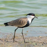 Spur-winged Lapwing (1)