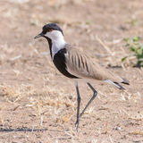 Spur-winged Lapwing (2)