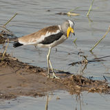 White-crowned Lapwing (1)