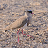 Crowned Lapwing (1)