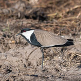 Spur-winged Lapwing (3)