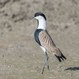Spur-winged Lapwing (4)