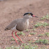 Crowned Lapwing (3)