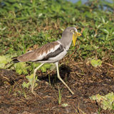 White-crowned Lapwing (3)