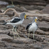 White-crowned Lapwing (4)