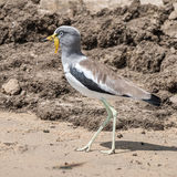 White-crowned Lapwing (6)