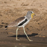 White-crowned Lapwing (7)