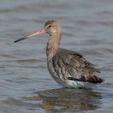 Black-tailed Godwit (8)