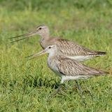 Bar-tailed Godwit (1)