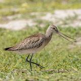 Bar-tailed Godwit (2)