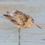 Bar-tailed Godwit (5)
