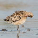 Bar-tailed Godwit (6)
