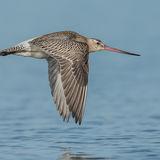 Bar-tailed Godwit (10)