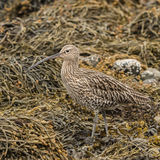Eurasian Curlew (1)