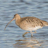 Eurasian Curlew (2)