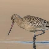 Bar-tailed Godwit (12)