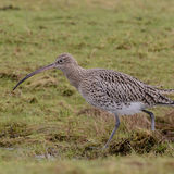 Eurasian Curlew (3)