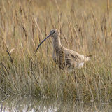 Eurasian Curlew (4)