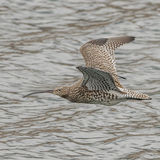 Eurasian Curlew (5)