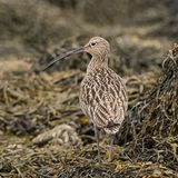 Eurasian Curlew (6)
