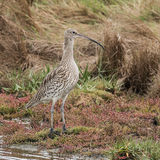 Eurasian Curlew (7)