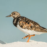 Ruddy Turnstone (3)