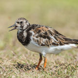 Ruddy Turnstone (5)