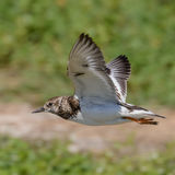 Ruddy Turnstone (6)