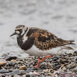 Ruddy Turnstone (7)