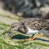 Ruddy Turnstone (8)