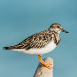 Ruddy Turnstone (9)