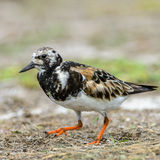 Ruddy Turnstone (10)