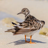 Ruddy Turnstone (11)