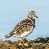 Ruddy Turnstone (12)