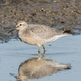 Red Knot (3)