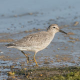 Red Knot (4)