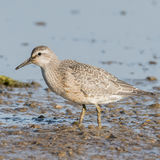Red Knot (5)