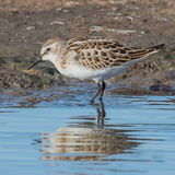 Little Stint (1)