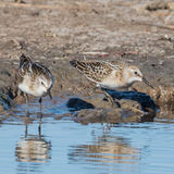 Little Stint (2)