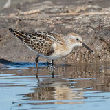 Little Stint (3)