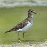 Common Sandpiper (1)