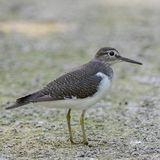 Common Sandpiper (4)