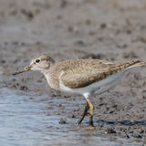 Common Sandpiper (6)