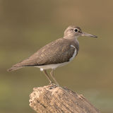Common Sandpiper (7)