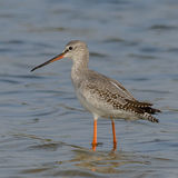 Spotted Redshank (1)
