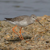 Spotted Redshank (2)